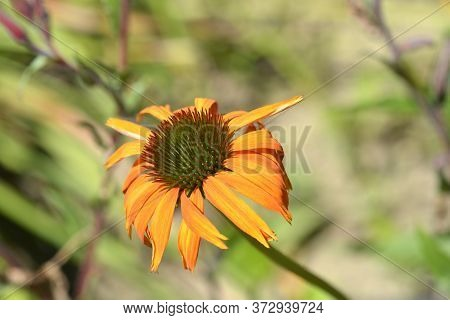 Coneflower Hot Lava Orange Flower - Latin Name - Echinacea Purpurea Hot Lava