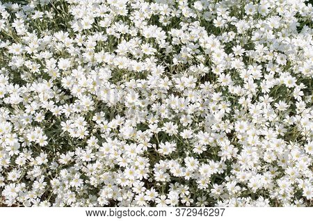Floral Background With White Flowering Snow-in-summer Or Cerastium Tomentosum In A Spring Garden