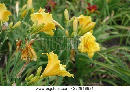 Bright Yellow Polymerous Flowers Of Daylilies In June