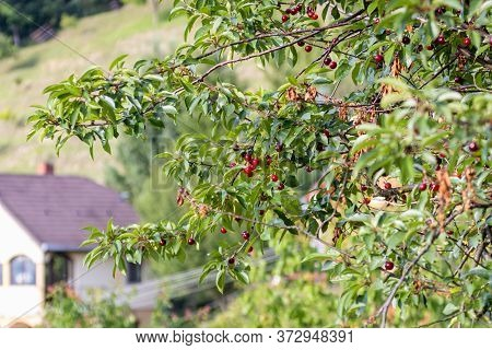 Sour Cherry Tree (prunus Cerasus) In The Garden