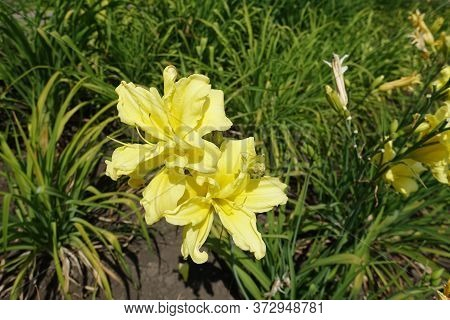 Pair Of Double Yellow Flowers Of Daylilies In June