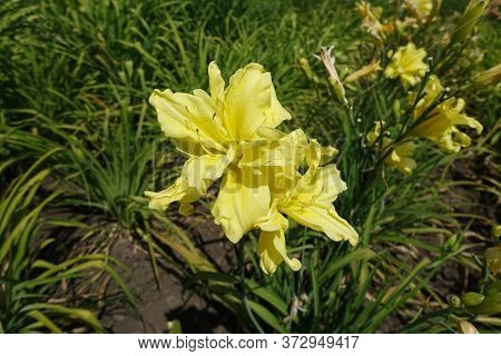Two Double Yellow Flowers Of Daylilies In June