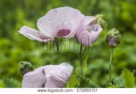 Garden Poppy Pink-purple With Dew. Flower Photos.