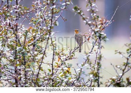 European Robin (erithacus Rubecula) In The Foresst