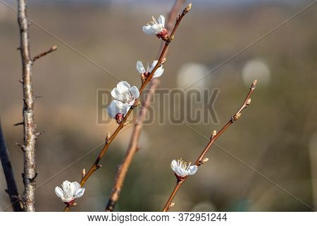Armenian Plum (prunus Armeniaca) Flower In The Garden