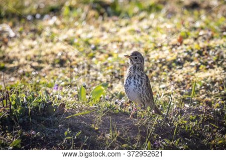 Song Thrush (turdus Philomelos) In The Garden