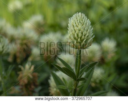 White Flower Of Sulphur Clover, Trifolium Ochroleucon, Growing In A Garden