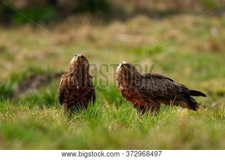 Two Lesser Spotted Eagles Looking Upwards On A Glade In Wilderness