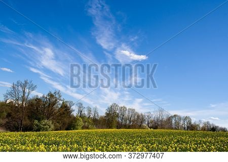 A Beautiful Rape Field With A Forest In The Middle In The Country With A Blue Sky With Clouds. Magic
