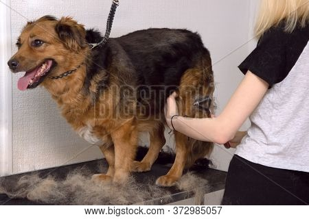 Cute Big Dog On The Table And Grooming Master Cuts And Shaves, Cares For A Dog. Grooming , Drying An
