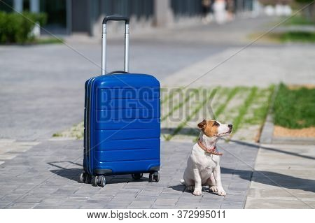 A Lonely Puppy Jack Russell Terrier Is Sitting On The Sidewalk Next To A Blue Suitcase. Little Dog T