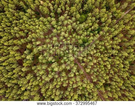 Bird eye's top view from flying drone above landscape green forest area with crossed dirt roads in a summer day.