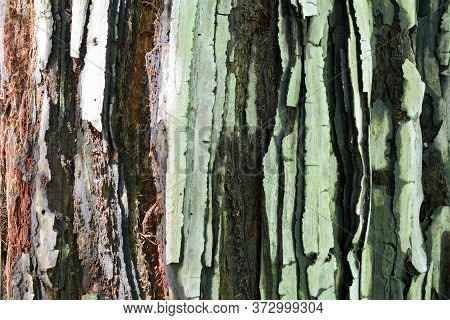 The Bark Of A Young Coastal Redwood, Sequoia Sempervirens, Featuring The Colors Green, Black, White