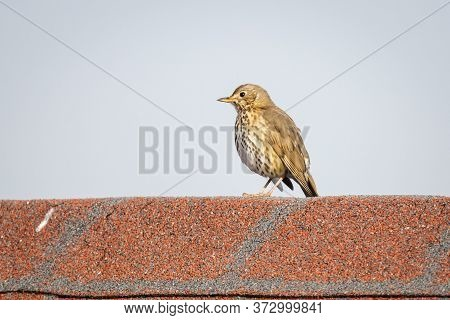 Song Thrush (turdus Philomelos) On A Roof