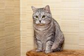 A sitting annoyed grey tabby cat on a shelf poster