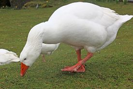 White Goose In Close Up Pecking On The Grass