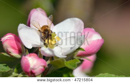 Bee In Apple Blossom
