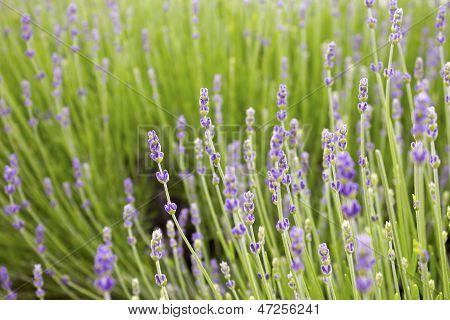 Green lavender field
