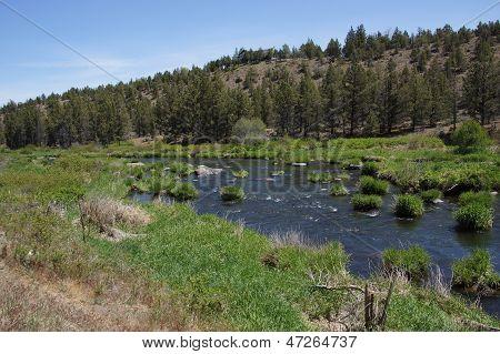 Conifer Forest Along The Deschutes River
