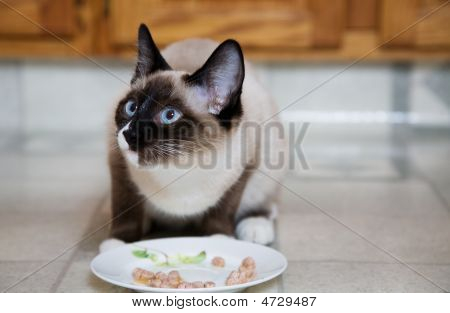 Siamese At Dinner