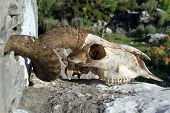 Big ram skull on the stone in Turkey poster