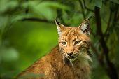 Eurasian Lynx (Lynx lynx) poster