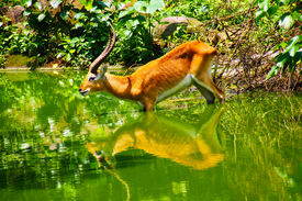 Antelope and its mirror image in Java, Indonesia