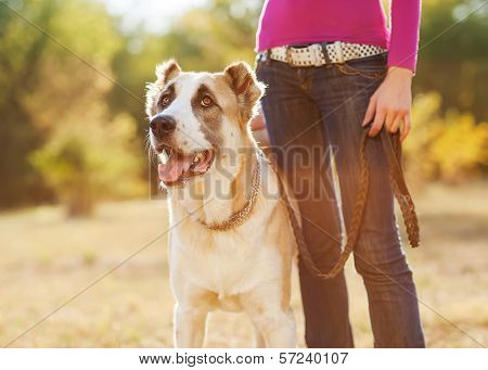 Woman and central Asian shepherd walk in the park. He keeps the dog on the leash. poster