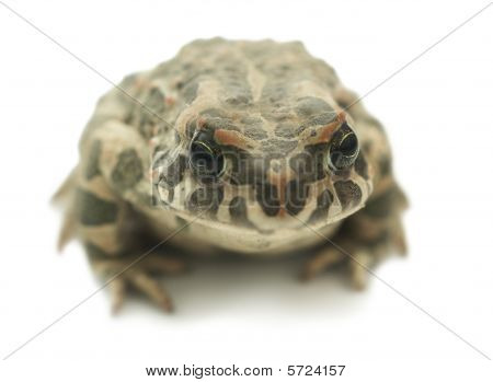 Big toad (Bufonidae) on white background