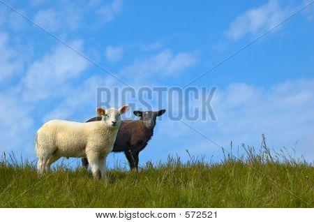 Schwarz und weiß-Schafe
