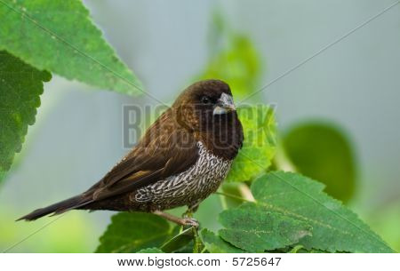 Bengalese Or Society Finch