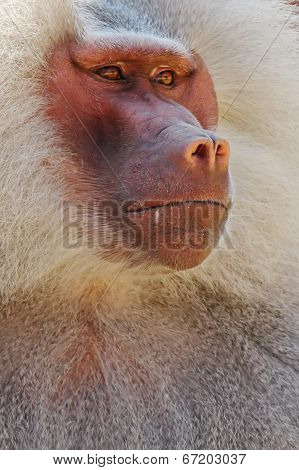 Hamadryas Baboon Closeup Portrait