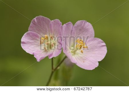 Pair Of Wild Geranium Flowers