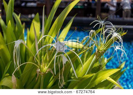 Beautiful Spider Lily, Hymenocallis Littoralis
