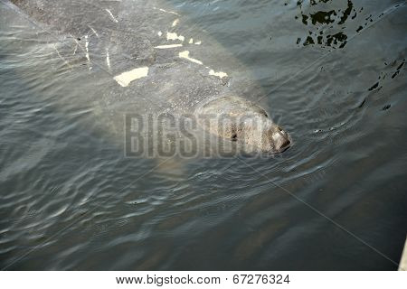 A Florida Manatee comes up for air