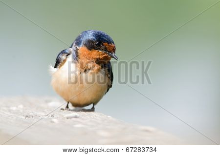 Close Up Of A Barn Swallow