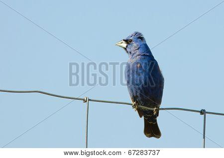 Blue Grosbeak (guiraca Caerulea)