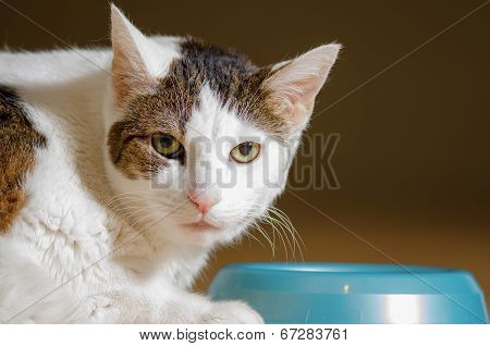 Shorthaired Cat Eating