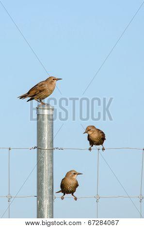 European Starling Fledglings