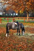 Grazing pony in the park late autumn. poster