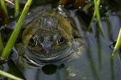 Frog in pond poster