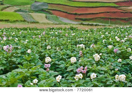 Potato Fields With Colourful Terraced Fields