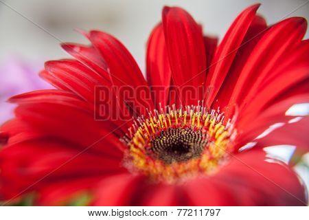 Pink Flowers Gerbera Red
