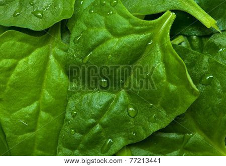 Tetragonia tetragonioides New Zealand spinach food background poster