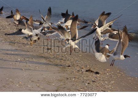 Gulls taking off