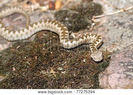 Young European Horned Viper In Natural Habitat