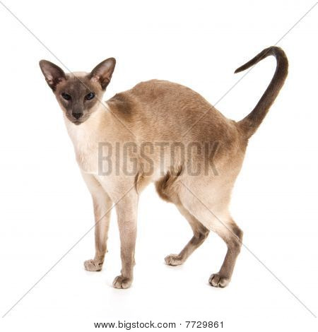 Blue point Siamese in studio isolated over white poster
