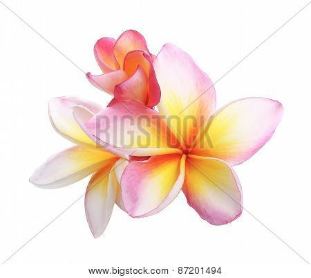 Pink Bloom Frangipani, Plumeria Flower Isolated On White