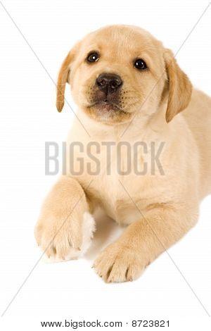 Labrador Puppy With Fur Ball