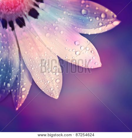 Beautiful flower border, gentle white Gerbera with dew drops on the petals over purple colorful background, beauty of spring nature